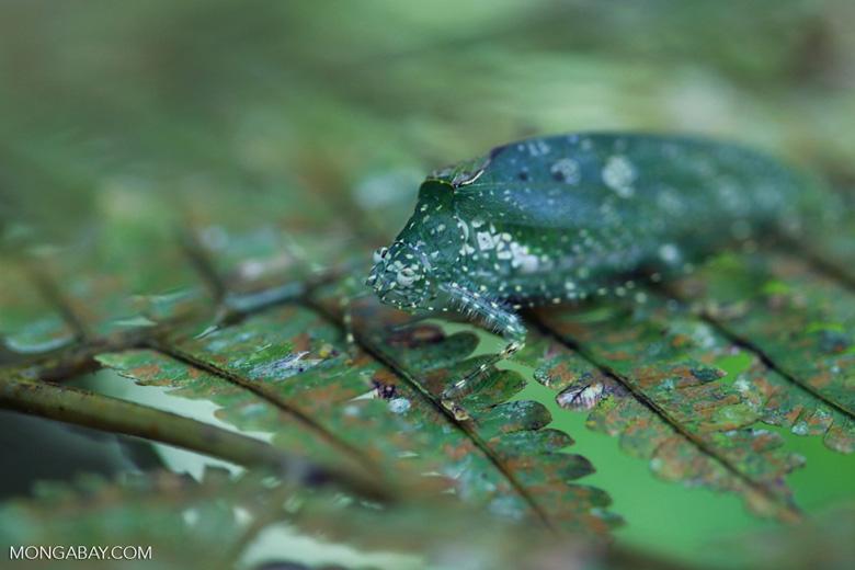 Katydid camouflaged to resemble bird droppings on a fern [sumatra_1352]