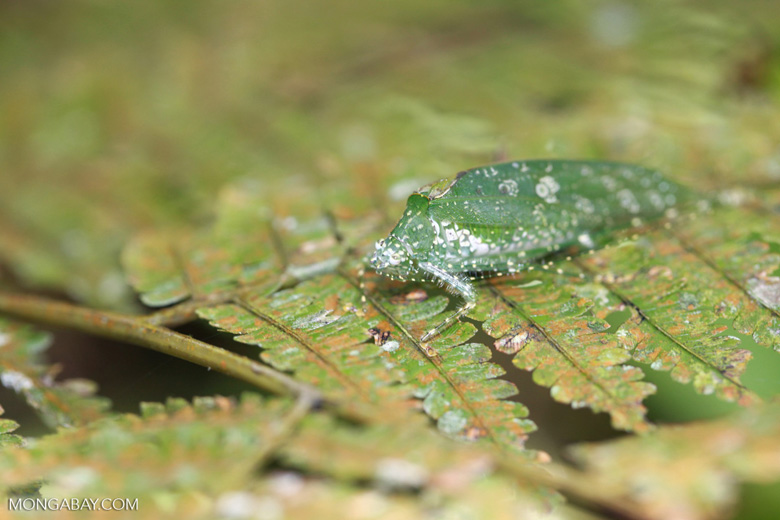 Katydid camouflaged to resemble bird droppings on a fern [sumatra_1357]
