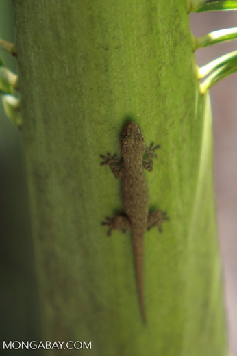 Gecko on a palm fron