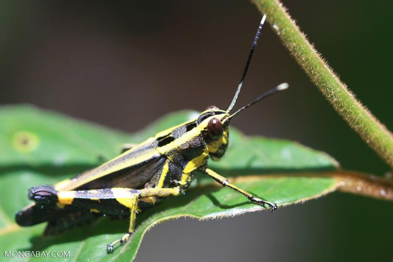 Yellow and black grasshopper