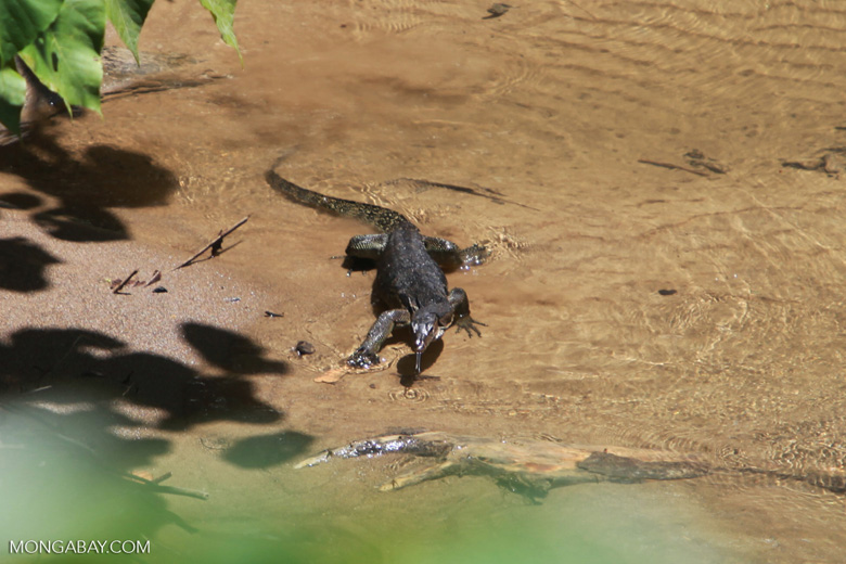 Water monitor lizard in Sumatra
