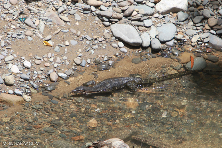 Water monitor in a clear river [sumatra_1394]