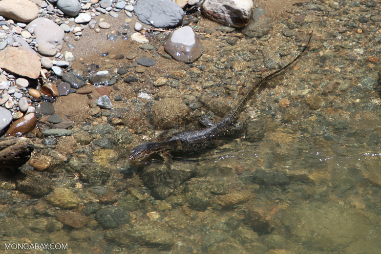 Water monitor in a clear river