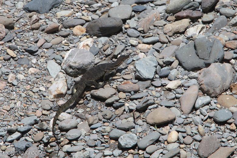 Water monitor lizard walking on river rocks [sumatra_1405]