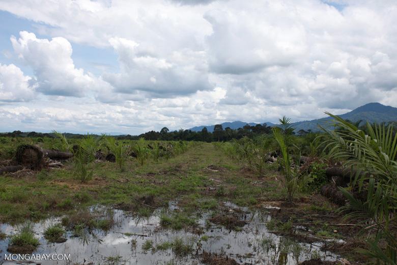Rainforest area logged for oil palm plantation