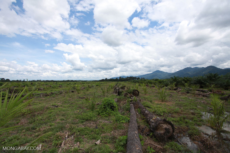 Oil palm plantation on former rainforest land