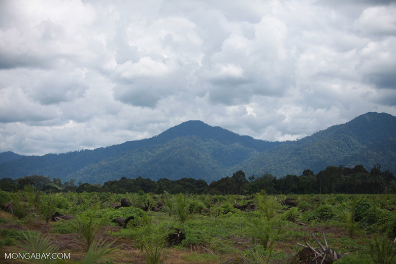 Oil palm plantation with the rainforest of Gunung Leuser National Park in the background [sumatra_1433]