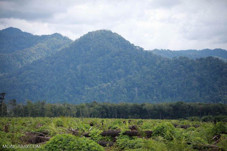 Oil palm plantation with the rainforest of Gunung Leuser National Park in the background