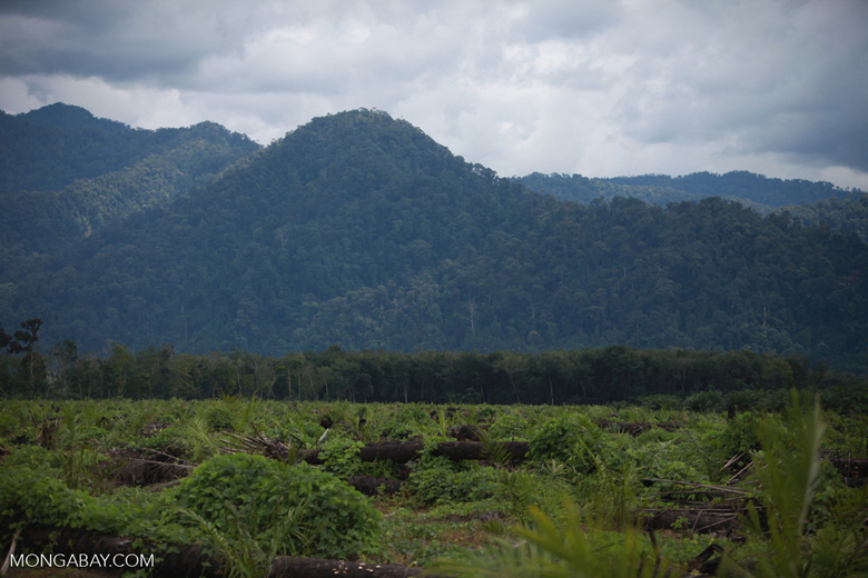 Oil palm plantation with the rainforest of Gunung Leuser National Park in the background [sumatra_1442]