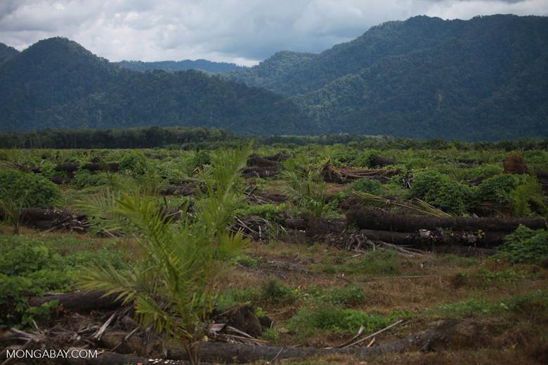 Oil palm plantation and rainforest