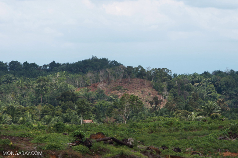 Hillside clearing for oil palm