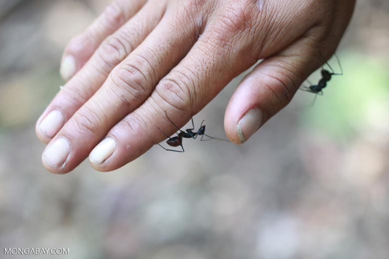 Lemon ant