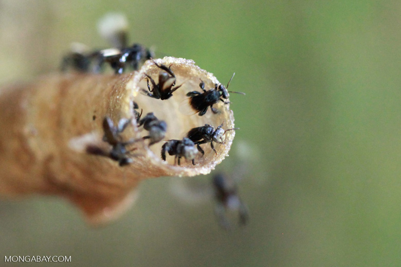 Sweat bees emerging from a hive