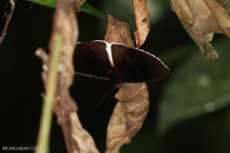 White-fringed butterfly