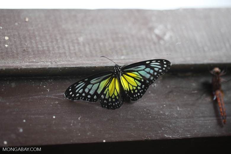 Turquoise, yellow, and black butterfly
