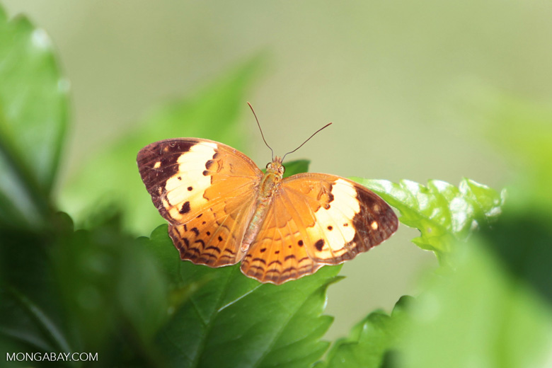 Orange, white, and brown butterfly