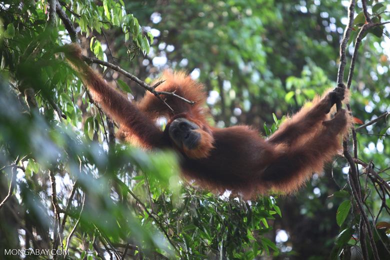 Orangutan relaxing in tree