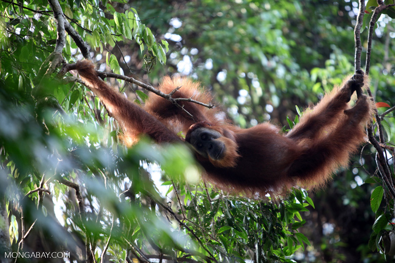 Orangutan relaxing in tree