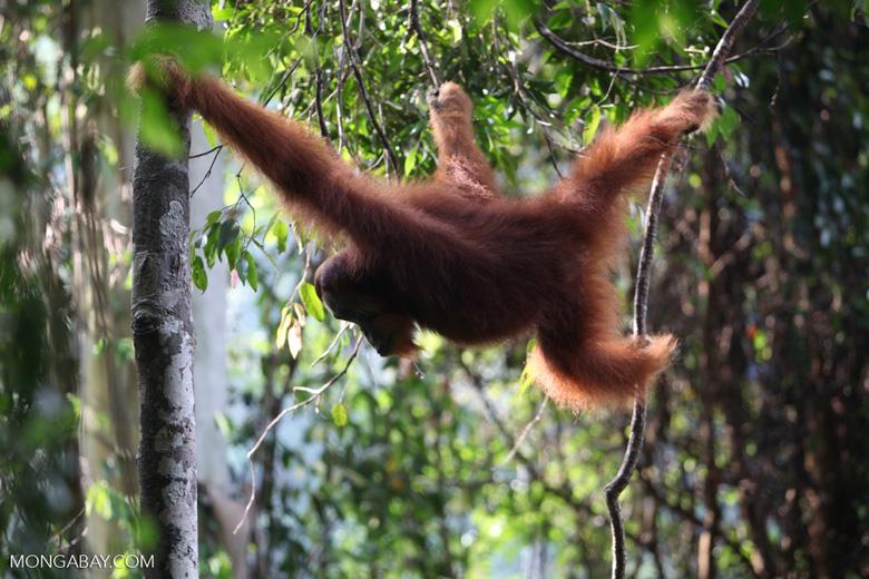 Orangutan hanging in tree