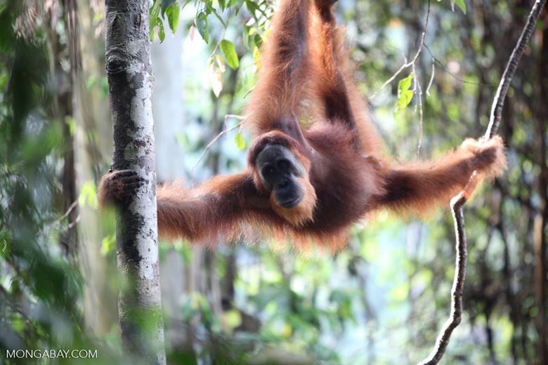 Orangutan hanging in tree