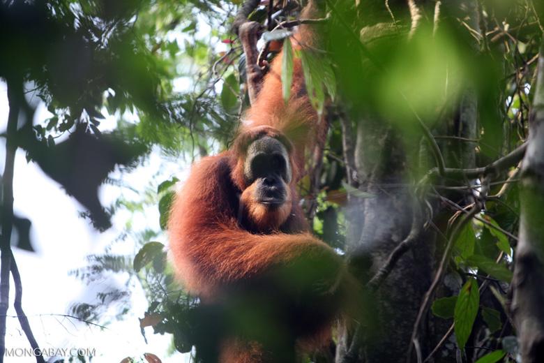 Orangutan in tree
