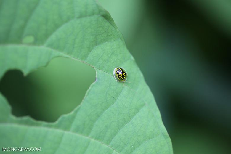 Yellow and black tortoise beetle