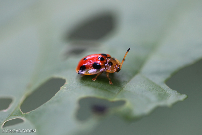 Red and orange beetle