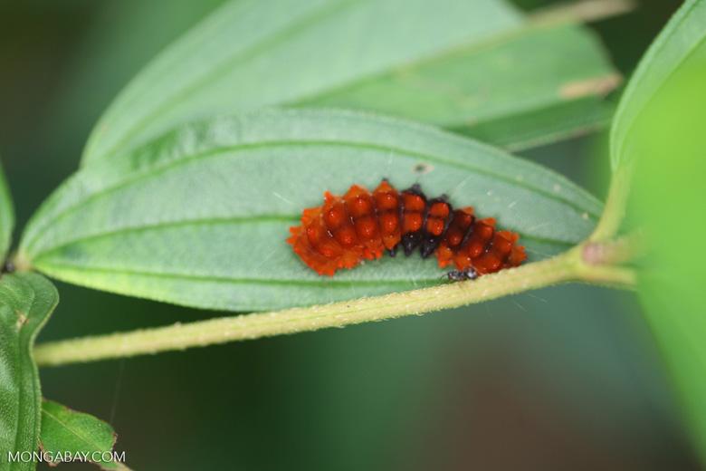 Orange and black caterpillar
