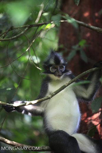 Thomas' Leaf Monkey in tree