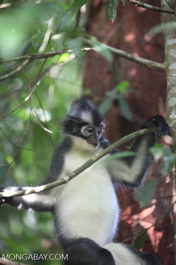 Thomas' Leaf Monkey in tree