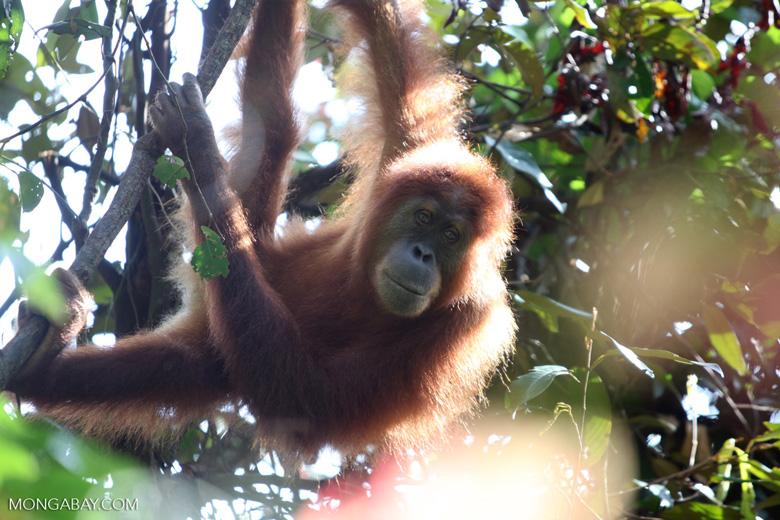 Orangutan in tree and sunlight