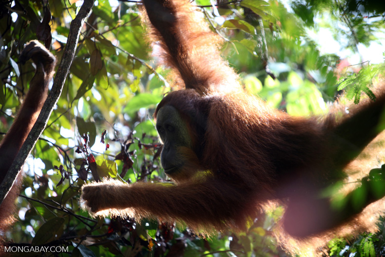 Orangutan in tree and sunlight