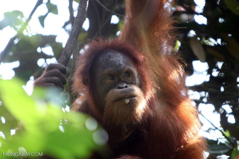 Orangutan eating flowers