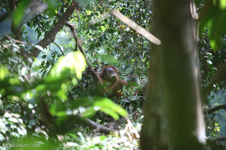 Orangutan eats a banana