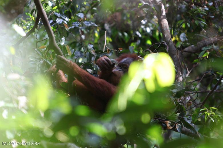 Orangutan in nest