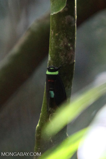 Fist-sized black, lime green, turquoise, and red cicada in Sumatra