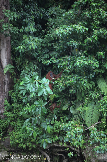 Mother and baby orangutan in forest