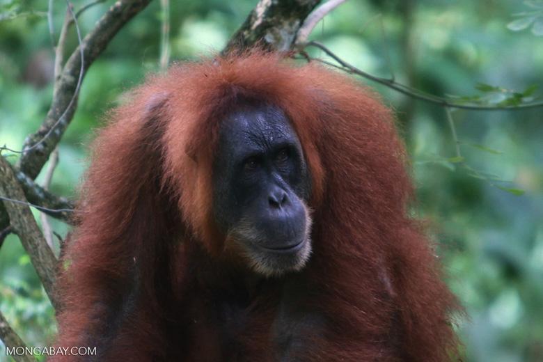 Orangutan on the ground