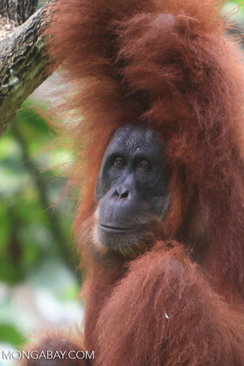 Mother and baby orangutan in at tree