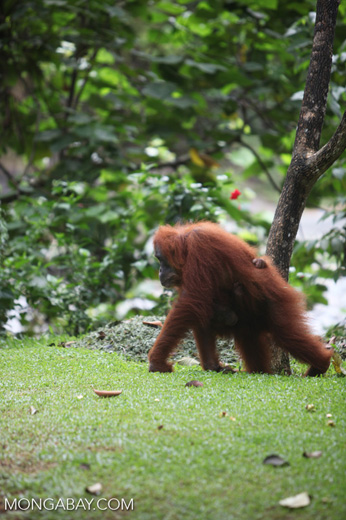 Mother and baby orangutan on the ground