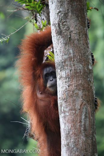 Mother orangutan in tree