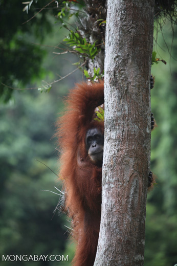 Mother orangutan in tree