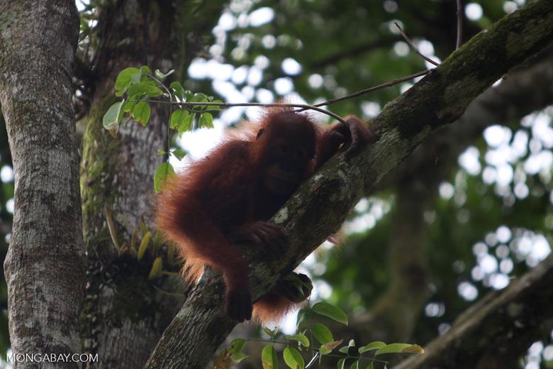 Infant Orangutan in Tree