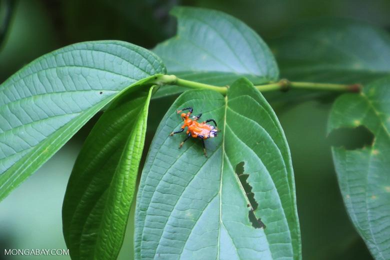 Orange and black assassin bug
