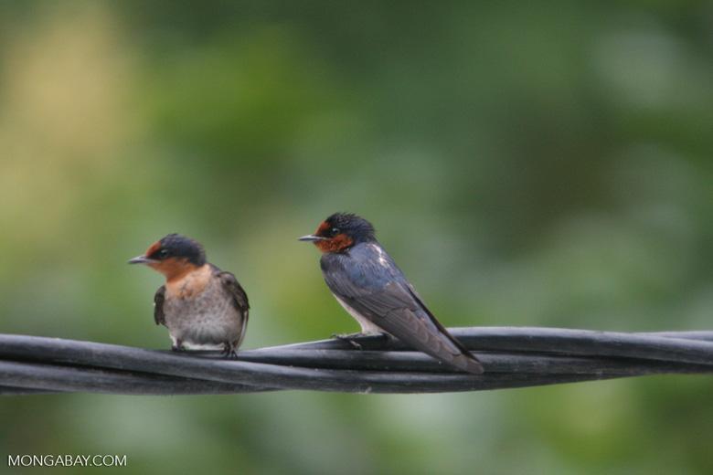 Barn Swallows (Hirundo rustica) [sumatra_9002]