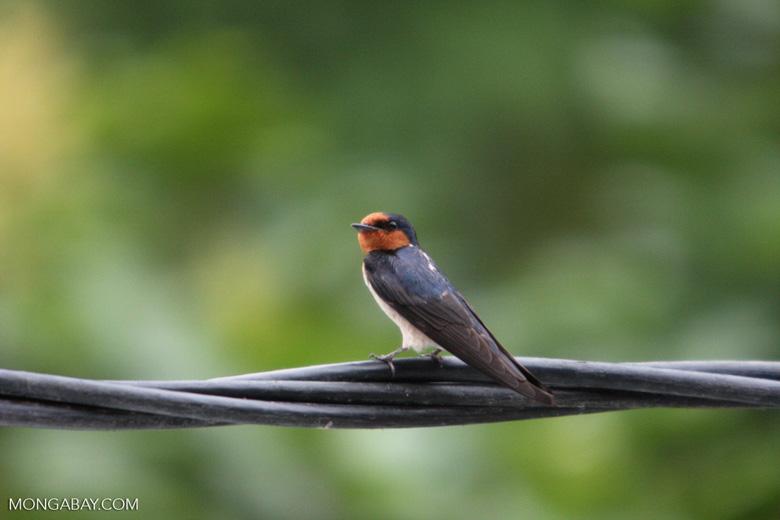 Barn Swallow (Hirundo rustica) [sumatra_9008]