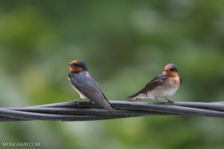 Barn Swallows (Hirundo rustica) [sumatra_9013]