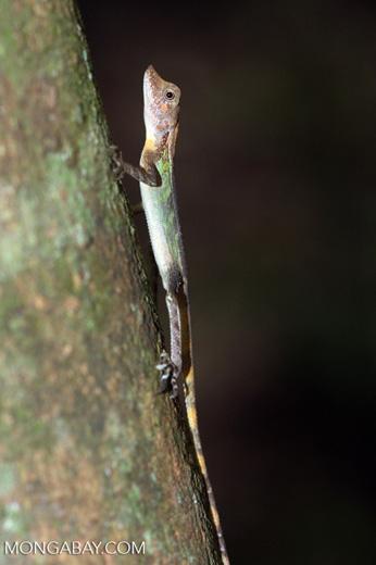 Green hued lizard