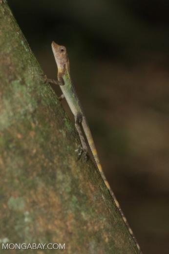 Green hued lizard [sumatra_9025]