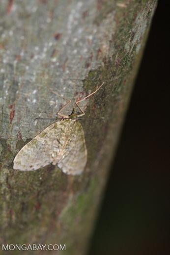 Brown moth [sumatra_9030]
